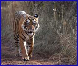 फोरलेन पर बाघ की पदचाप!