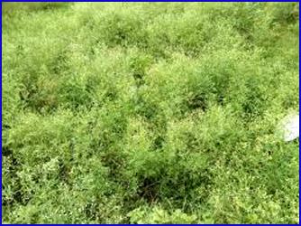 कब लेगा प्रशासन गाजर घास के जंगलों की!