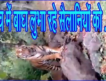 पेंच में बाघ लुभा रहे सैलानियों को . . .