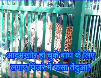 आदमखोर हो चुके बाघ के लिए लगाए पिंजरे में फंसा तेंदुआ!