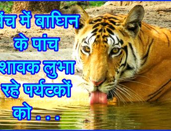 पेंच में बाघिन के पांच शावक लुभा रहे पर्यटकों को . . .