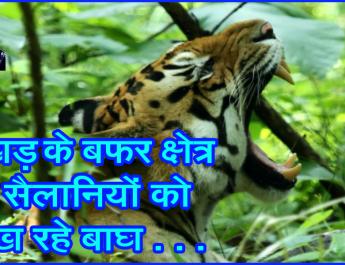 रूखड़ के बफर क्षेत्र में सैलानियों को दिख रहे बाघ . . .