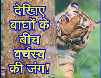 देखिए बाघों के बीच वर्चस्व की जंग!