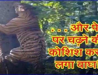 . . . और पेड़ पर चढ़ने की कोशिश करने लगा बाघ!